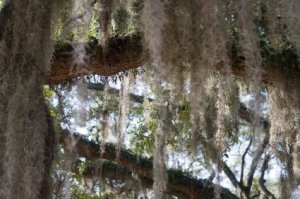 live oak tree with hanging moss