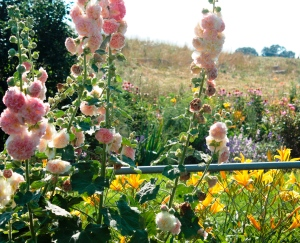 apricot hollyhocks cropped