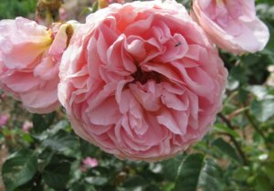 Abraham Darby Rose by David Austen