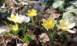 Crocus three