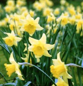 daffodils_04