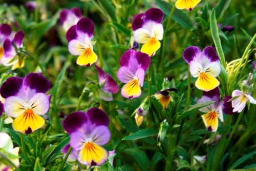 vintage violas from seed