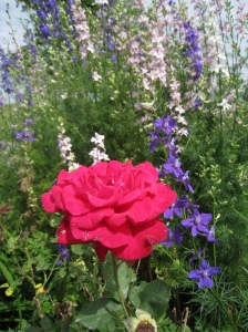red rose and larkspur