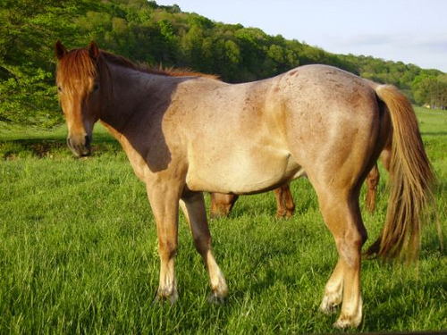 Strawberry roan quarter horse stallion