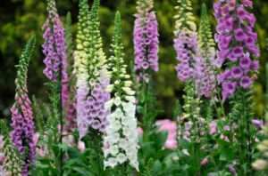 Colorful foxgloves