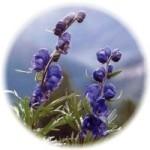 herbs_aconite
