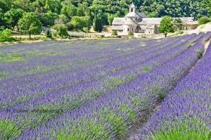 lavender at provence