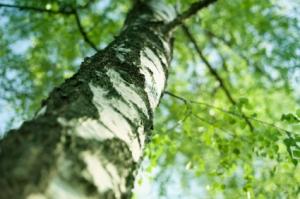 birch tree in spring