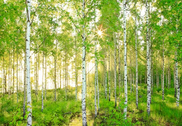 http://bethtrissel.files.wordpress.com/2011/02/birch_trees.jpg