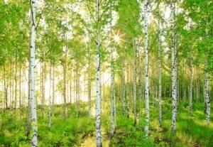 birch_trees