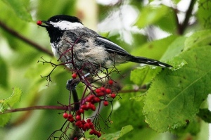 bird eating elderberries