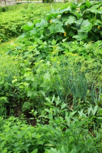 herb garden with parsley