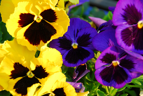 "the pansy this, o, that's for lover's thoughts,"" and other flower, Natural flower"