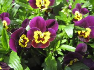 VIOLAS or HEARTSEASE