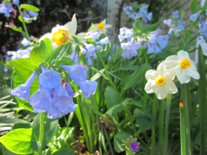 bluebells and jonquils2
