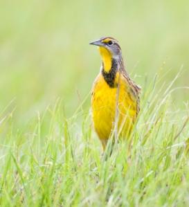 Meadowlark, Eastern Meadowlark