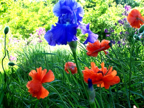 blue iris and poppies