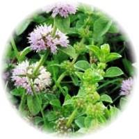 herbs_pennyroyal