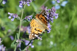 painted lady butterfly on catmint