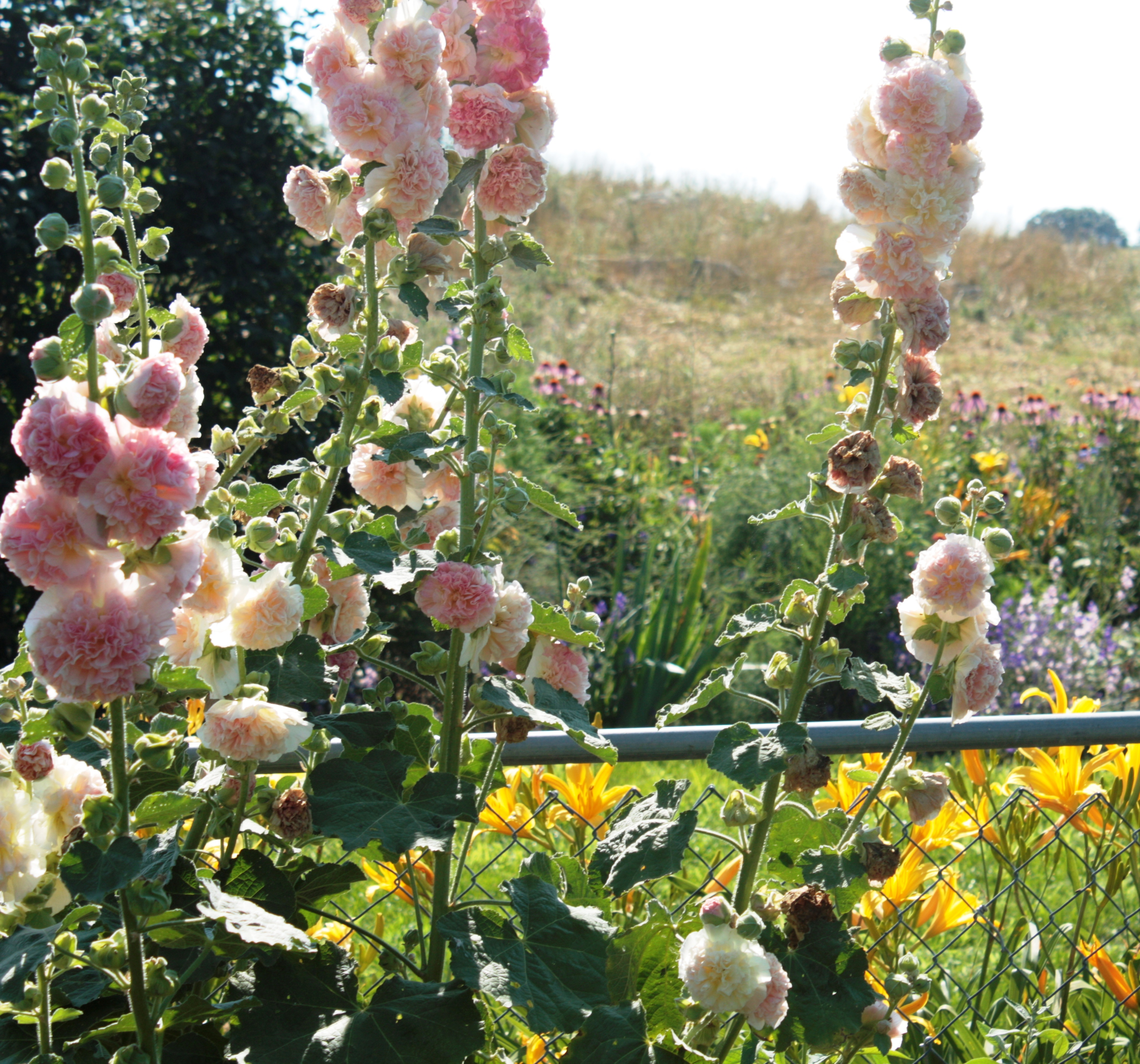 """Hollyhock Garden: The Pink Fuzzy Slipper Writers: """"The Greatest Gift Of The"""