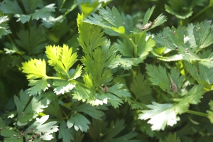 parsley (2)