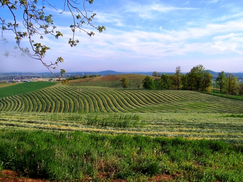 summer hills and pasture in the Shenandoah Valley