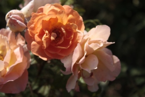 bright apricot roses