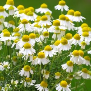 Chamomile, herb, cheery