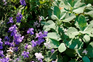 fuzzy sage with blue larkspur