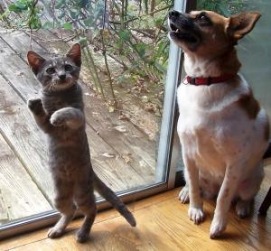 Mia and Percy--Tabby kitty and Corgi Mix