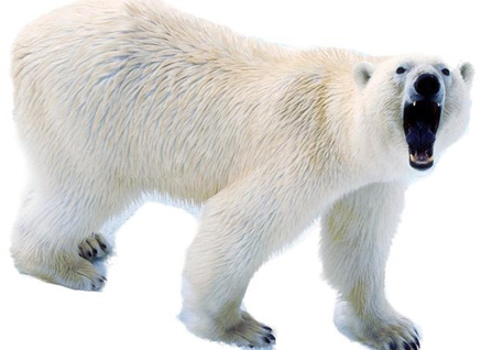 polar bear growling | One Writer's Way