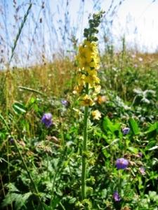 agrimony, Herb, acrimony, Herbal Plant, Herbal Medicine,
