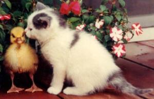 moms-kitten-gosling-pic