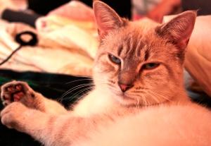 tabby Siamese mix cat