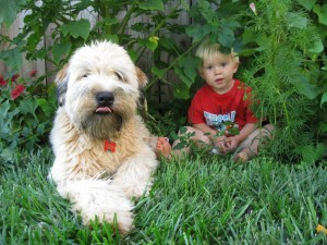 colin and Grady-soft-coated Wheaton Terrier