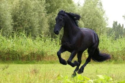 Friesian horse