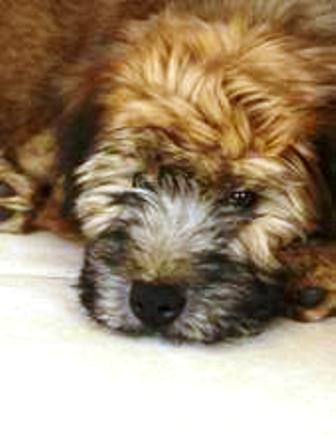 Soft-coated Wheaton Terrier Puppy Grady