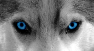 Blue-eyed Wolf, Animal Eye, Sled Dog, Dog
