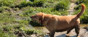 lab mix, our farm dog Lance