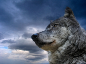 Wolf, Animal, Leadership, Dog, Canada, Courage, Black, Winter