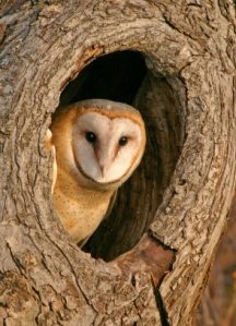 Owl, Barn Owl, Tree, Hole, Bird, Animal, Bark, Wildlife