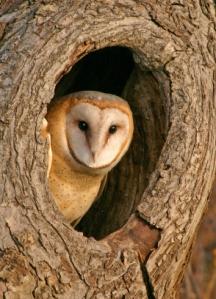 Owl, Barn Owl, Tree, Hole, Bird, Animal, Bark, Wildlife