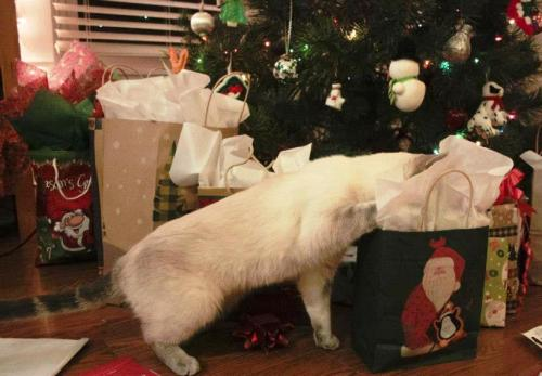 Christmas cat--Siamese Tabby Mix.jpg 2