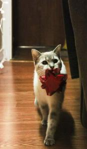 Christmas cat--Siamese Tabby Mix with bow
