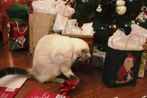 Christmas cat--Siamese Tabby Mix