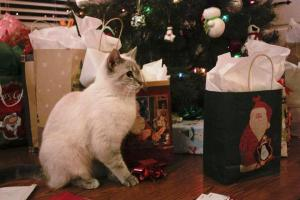 Pabel the kitten-cat at Christmas siamese tabby mix
