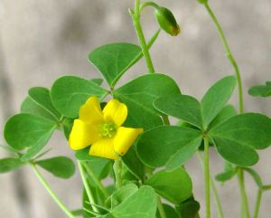 common yellow oxalis--wood sorrel