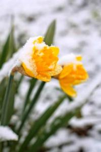 daffodils in March snow