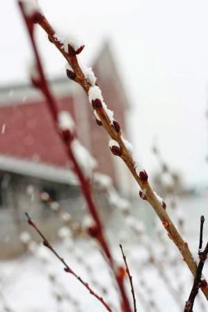 pussywillow against the barn in March 25 snow