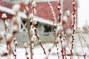snowy pussywillow by the old red barn on march 25